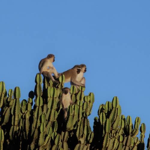 Vervet monkey research project by Uni. of Lausanne at Loziba